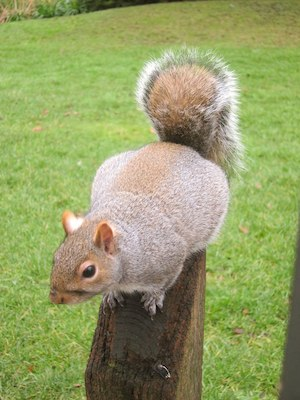 A Squirrel in Hyde Park