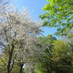Blossom in Holland Park