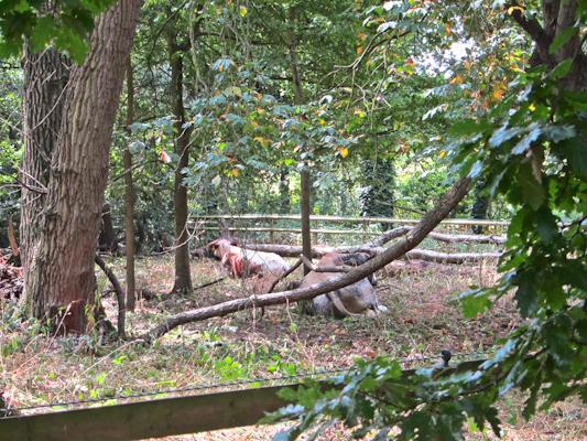 Holland Park Cows